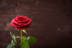 Bud of a red rose with drops of water on a dark background Stock Photography