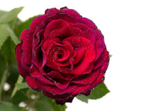 Bud red rose with green leaves in drops close-up. Stock Photo