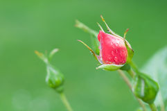 The bud of a red rose Stock Images