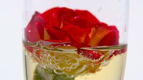 Red rose bud lies in a glass of champagne. White background. Close up. Bud of the red rose lies in a glass of champagne, the bubbles from the sparkling drink stock video footage