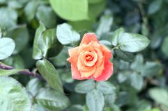 A bud of a red tea rose.Imperatrice Farah Late Imperatrice Farah, delivour. stock image