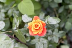 A bud of a red tea rose.Imperatrice Farah Late Imperatrice Farah, delivour. stock images
