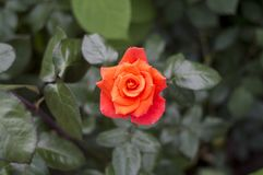 A bud of a red tea rose.Imperatrice Farah Late Imperatrice Farah, delivour. stock photo