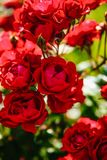 Red tea rose flower Royalty Free Stock Photo