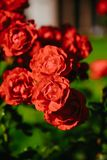 Red tea rose flower Stock Photography