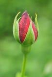 bud rose Zdjęcie Stock