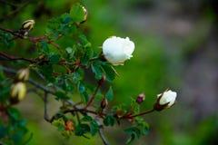 Bud of roses. White shrub roses Stock Photos