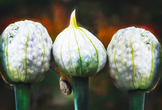 This Bud`s for you. Snail and onion flower buds in the garden Royalty Free Stock Photos