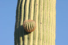 Bud of Saguaro cactus Stock Images