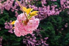 Bud Sakura-bloemen op vage achtergrond van groene pijnboom Stock Foto