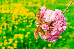 Bud Sakura flowers on blurred background of green grass Royalty Free Stock Photography