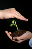 Bud seedling in hand Stock Photo
