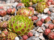 Bud of sempervivum in stone Stock Photography