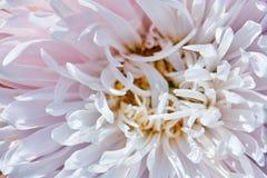 Bud shot a big pink Dahlia. Pink dahlia bud shot close-up royalty free stock images