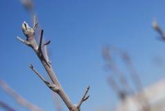 Bud of soon bloom apple tree Stock Photos