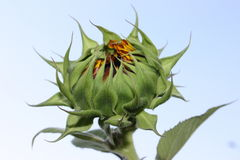 The bud of sunflower Stock Photo