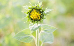 Bud sunflower Stock Image