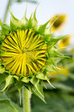Bud of sunflower Stock Photography