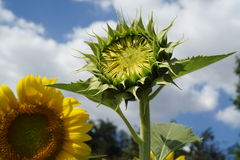Bud of sunflower with blue sky Royalty Free Stock Image