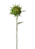 Bud  of sunflower Royalty Free Stock Images