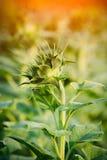 Bud sunflowers Stock Photography