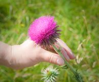 Bud of thistle Royalty Free Stock Photo