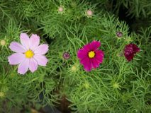 The Bud to Full Bloom Cosmos Flowers. In The Garden Stock Photo