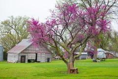 Bud Tree Blooming vermelho na mola imagem de stock