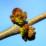 Bud on a tree that blooms in spring. On a sunny day in the spring, the tree buds Royalty Free Stock Images