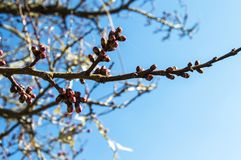 Bud,tree buds,with the arrival of spring, fruit buds,fruit tree blossoms, Royalty Free Stock Image