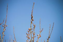 Bud,tree buds,with the arrival of spring, fruit buds,fruit tree blossoms, Royalty Free Stock Images