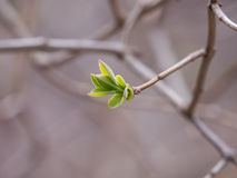 Bud on tree Stock Photography