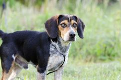 Beagle hound dog rescue adoption photograph. Bud is a tri-color Beagle rabbit dog photographed outdoors in a meadow on leash. He is not neutered. Flakey skin and Stock Photography