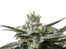 Bud Trichromes sur l'usine de marijuana étroite vers le haut du fond blanc photographie stock