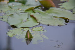 A bud is trying to start bloom. A lotus bud is trying it's best to start to be in full bloom royalty free stock photos
