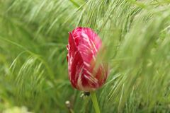 Bud of a Tulip among selnau grass. A lone Bud of a Tulip on a background of pale-green grass stock image
