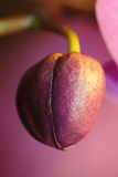 Bud of violet orchid. Macro Stock Photos