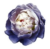 A bud of white-blue blossoming peony flower. flower on a white background with clipping path without shadows. For design. royalty free stock photo