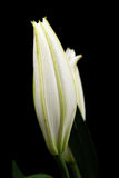 Bud of white lily. Unblown bud of white lily. Isolated, over black background Stock Photo