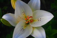 Bud of white lily. Royalty Free Stock Photography