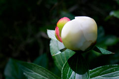 Bud of White Peony Flower with a Hint of Pink Stock Image