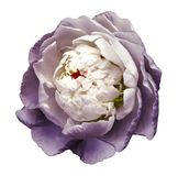A bud of white-purple blossoming peony flower. Isolated flower on a white background with clipping path without shadows. For desig royalty free stock images