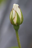 Bud of a white rose Royalty Free Stock Photo