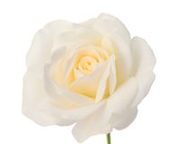 Bud of a white rose Royalty Free Stock Images