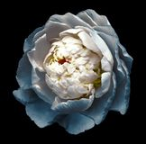 A bud of white-turquoise blossoming peony flower. Isolated flower on the black background with clipping path without shadows. For royalty free stock image