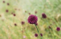 Bud of wild Allium aflatunense flower Royalty Free Stock Image