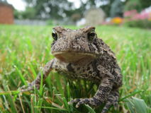 Bud-Wise-Errrrrrrr  Audition. A impromptu visit from a toad, encounters the lofty grass, and sits on top Stock Image