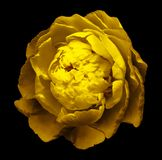 A bud of yellow blossoming peony flower. Isolated flower on the black background with clipping path without shadows. For design stock photo