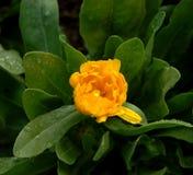 Bud of yellow flower Stock Photos