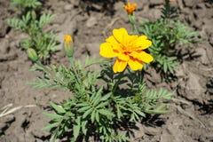 Bud and yellow flowerhead of Tagetes patula. Bud and yellow flower head of Tagetes patula stock images
